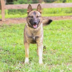 Malx (Belgian Malinois/German Shepherd)